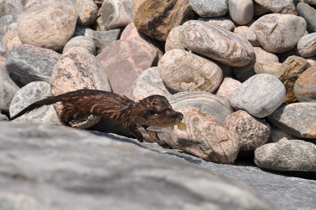 mink, lake ontario, rouge national park, toronto, 4