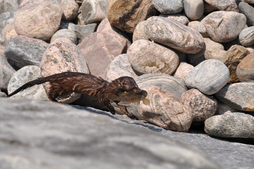 mink with fish along lake ontario shoreline in rouge national park, toronto, ontario, canada