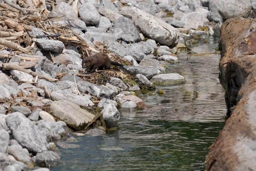 mink, lake ontario, rouge national park, toronto, 6