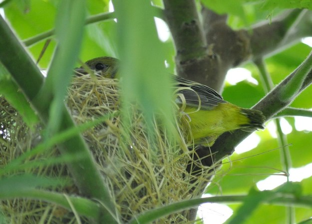 orchard oriole, baby, ajax, ontario, pic 8