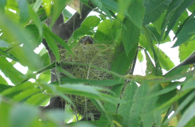 orchard oriole, baby, ajax, ontario, pic 9