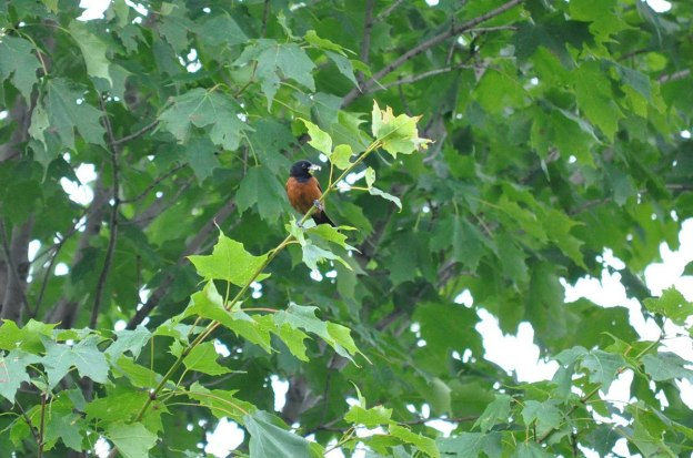 orchard oriole, male, ajax, ontario, pic 1