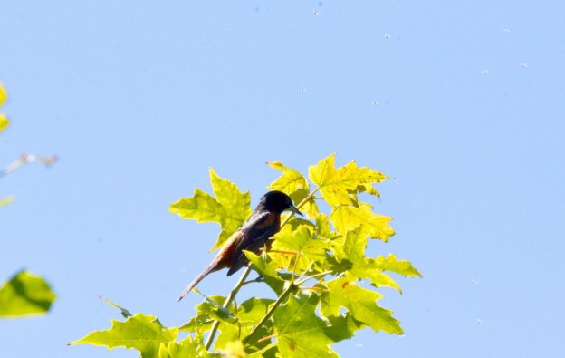 Male Orchard oriole sitting on a tree in Ajax, Ontario, Canada
