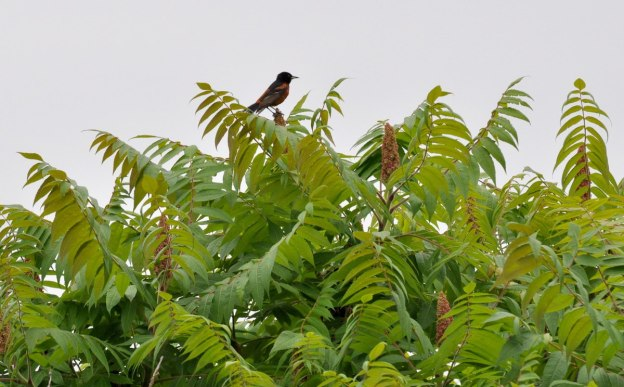 Male Orchard Oriole sitting atop a tree in Ajax, Ontario, Canada