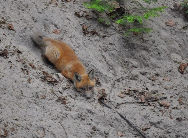 red fox kit in sand, algonquin park, ontario,