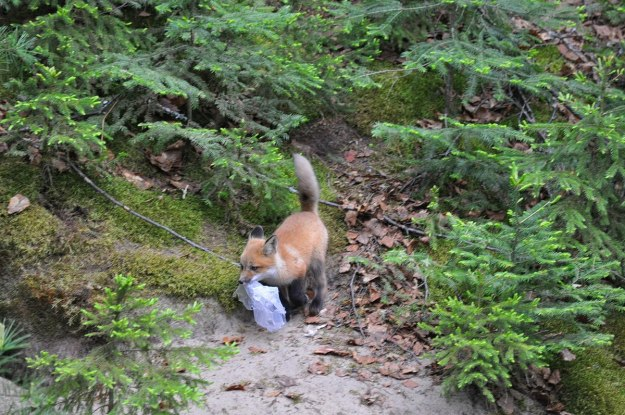 red fox kit with plastic bag, algonquin park, ontario, pic 3