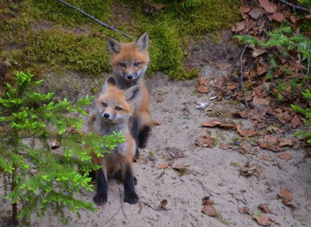 red fox kits, algonquin park, ontario, pic 4