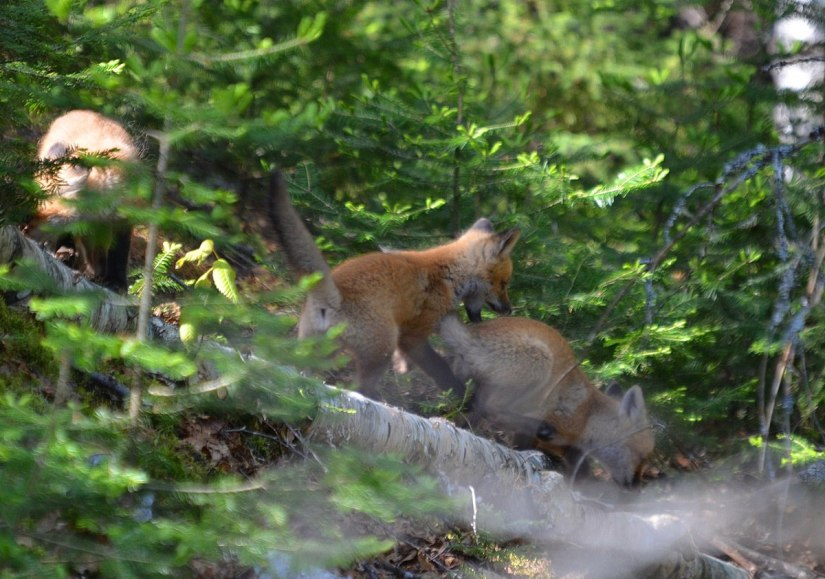 red fox kits playing, algonquin park, ontario, pic 2