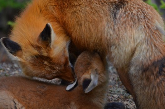 red fox, vixen and kit, algonquin park, ontario