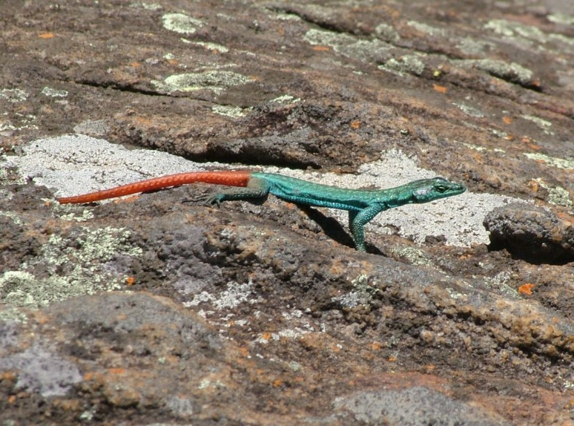 Common flat lizard standing on rocks at Blyde River Canyon in South Africa