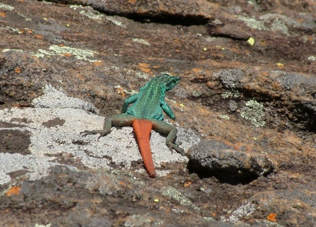 Common flat lizard on rocks at Blyde River Canyon in South Africa