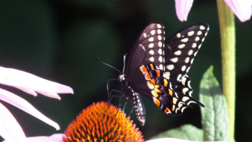 Close up of a Black Swallowtail Butterfly on a flower in Toronto, Ontario