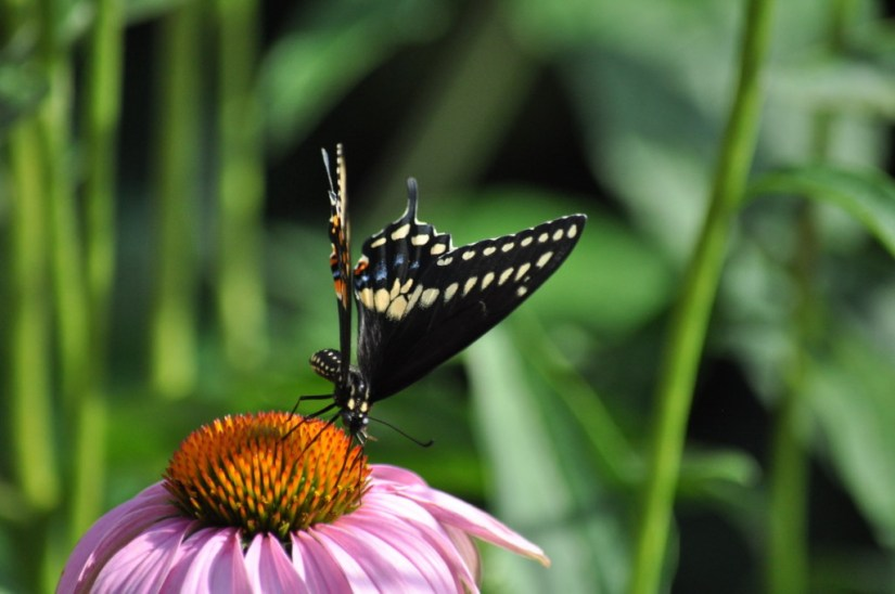 Black Swallowtail Butterfly on a coneflower in a Toronto garden, Ontario