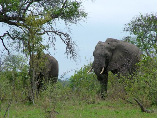 An image of two African elephants in Kruger National Park, South Africa. Photography by Frame To Frame - Bob and Jean.