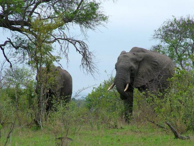 African bush elephants at Kruger National Park, South Africa
