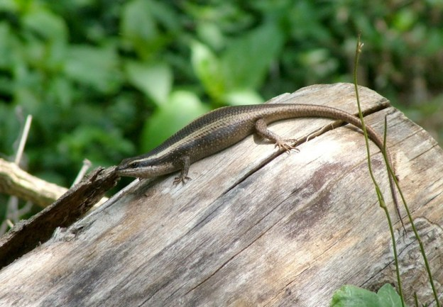 african striped skink, sabie, south africa, pic 1