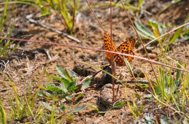 Atlantis fritillary butterfly on a plant at Algonquin Park, Ontario, Canada