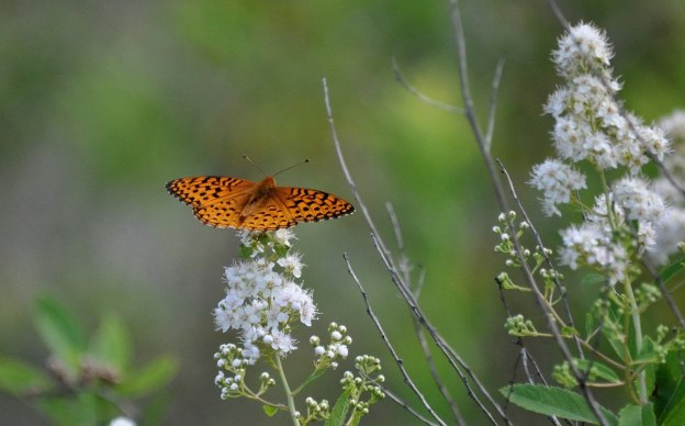 Atlantis fritillary butterfly sitting on a Meadowsweet plant in Algonquin Park, Ontario, Canada