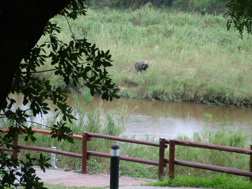 An African Buffalo along the river at Skukuza Rest Camp, in Kruger National Park, South Africa