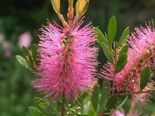 Weeping Bottlebrush - pink - at Valley View Lodge in Sabie, South Africa