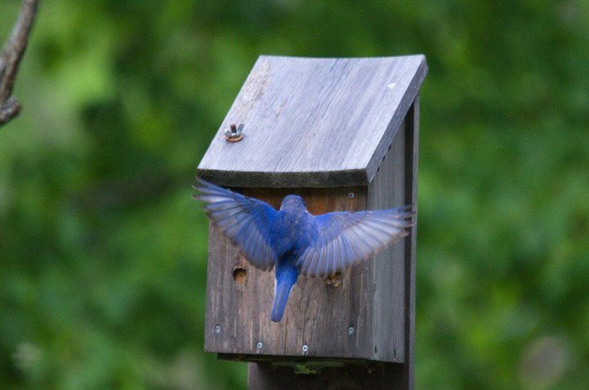 eastern bluebird male, oxtongue lake, ontario