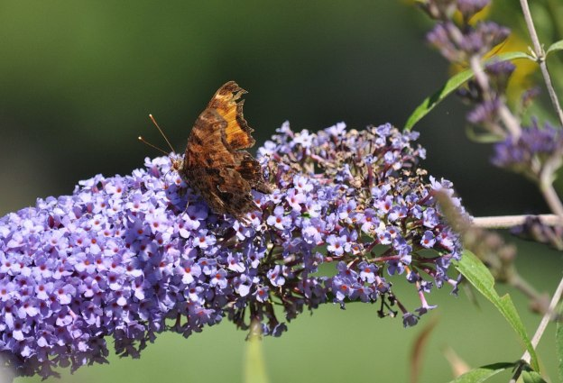 eastern comma butterfly, rosetta mcclain park, toronto, pic 5