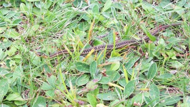 eastern garter snake, oxtongue lake, ontario, pic 1