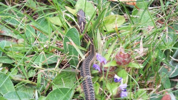eastern garter snake, oxtongue lake, ontario, pic 3