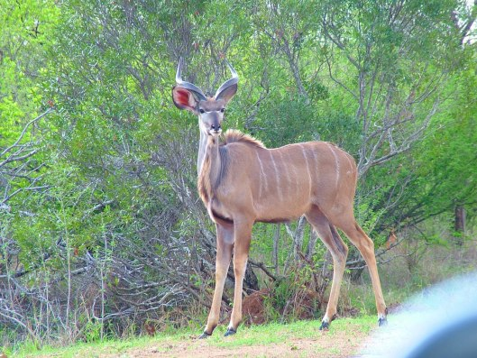 An image of a kudu standing along a dirt road in Kruger National Park in South Africa. Photography by Frame To Frame - Bob and Jean.