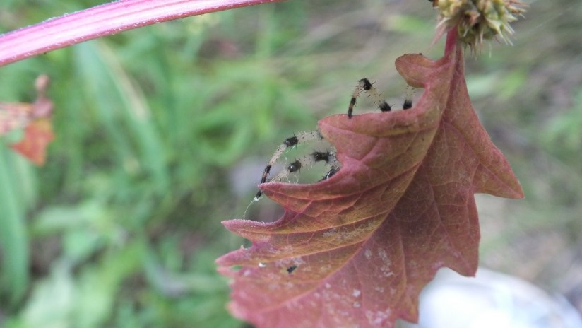 Shamrock orbweaver spider on a leaf at Colonel Samuel Smith Park in Etobicoke, Ontario, Canada