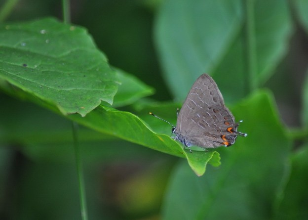 Striped Hairstreak Butterfly sitting on a plant near Huntsville, Ontario, Canada.