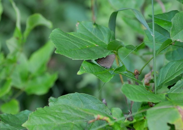 Striped Hairstreak Butterfly near Huntsville, Ontario, Canada.