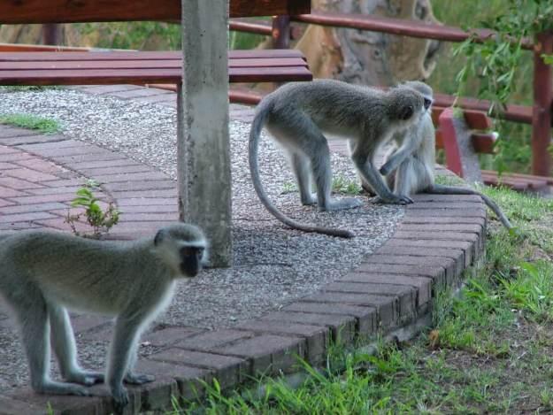 Vervet monkeys at Skukuza Rest Camp in Kruger National Park, in South Africa