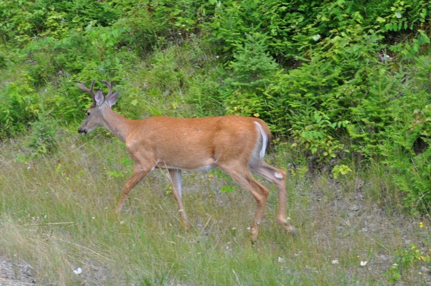 White-tailed deer in meadow in Algonquin Park, Ontario, Canada