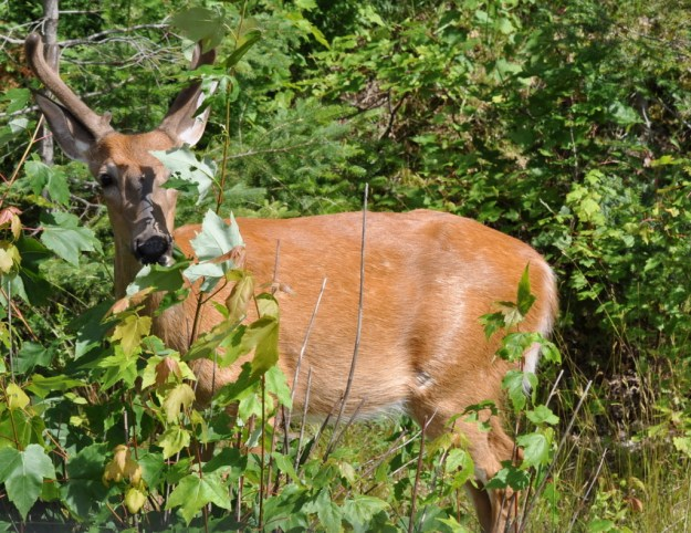 white-tailed deer, buck, algonquin park, ontario, pic 6