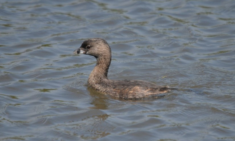Pied-billed Grebe at South Reesor Pond in northeast Toronto, Ontario