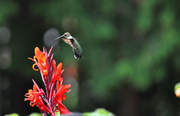 Ruby-throated Hummingbird at a Canna Lily in Toronto, Ontario, Canada.