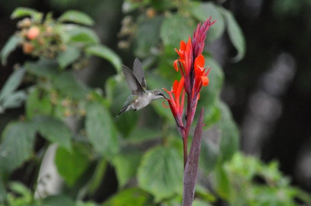 Ruby-throated Hummingbird at a Canna Lily in Toronto, Ontario, Canada