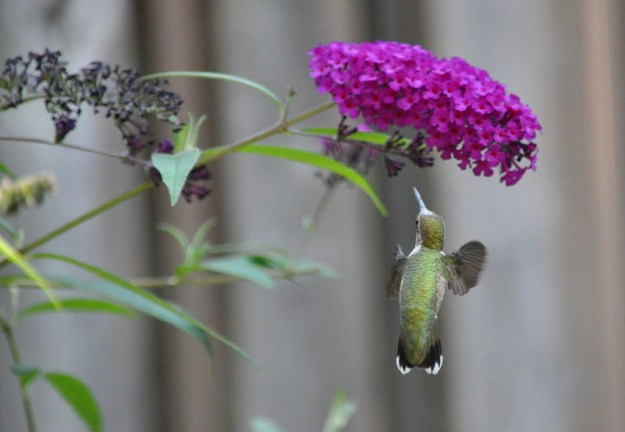 Ruby-throated Hummingbird at a butterfly bush in Toronto, Ontario, Canada