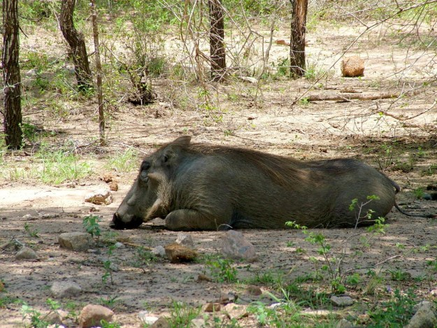 An image of a warthog resting on the ground under some trees in Kruger National Park, South Africa.