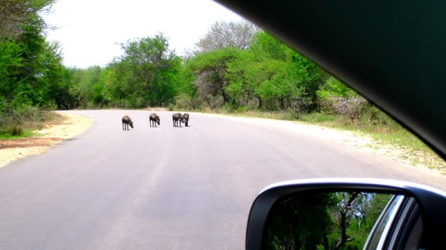 An image of warthogs standing in the middle of a paved road in Kruger National Park in South Africa.