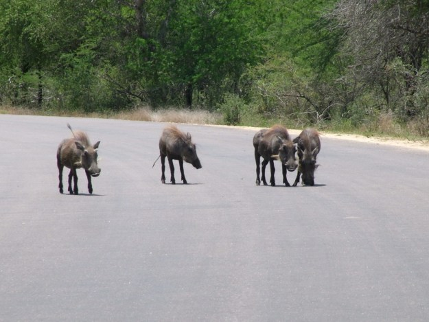 An image of four warthogs standing in the middle of a road in Kruger National Park, South Africa