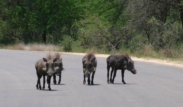 An image of four warthogs walking on a paved roadway in Kruger National Park, South Africa.