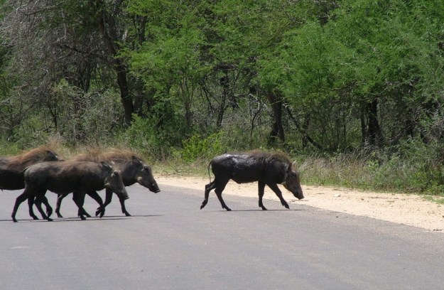 An image of warthogs running off a paved roadway in Kruger National Park, South Africa.