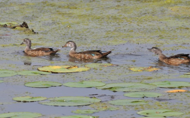 Wood ducks swimming across Lower Ressor Pond in Toronto, Ontario, Canada