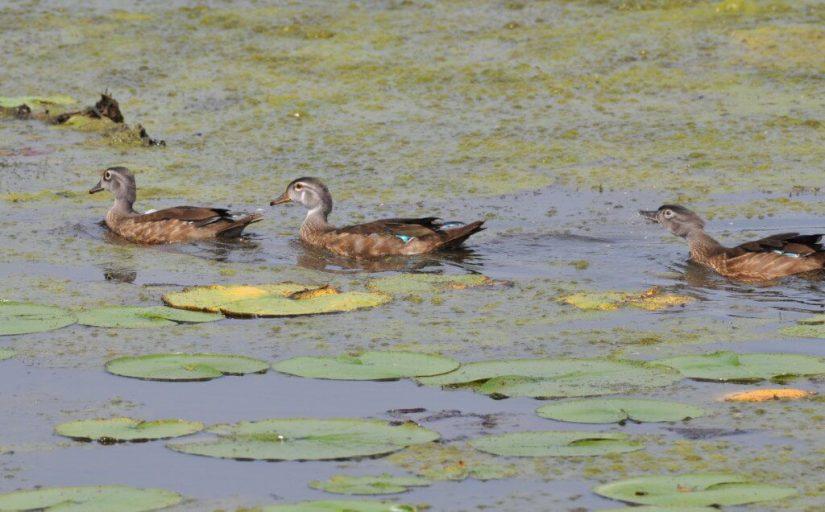 Wood ducks swimming across Lower Ressor Pond in Toronto, Ontario, Canada