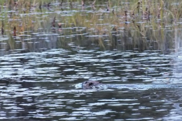 beaver, ontario