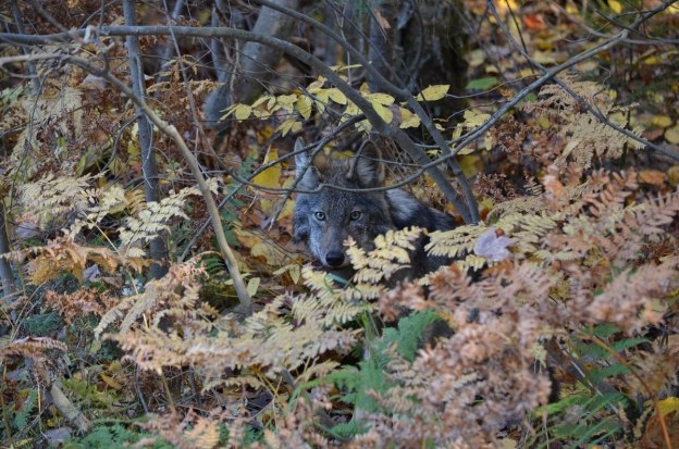 Eastern wolf behind bushes in Algonquin Park, in Ontario, Canada.
