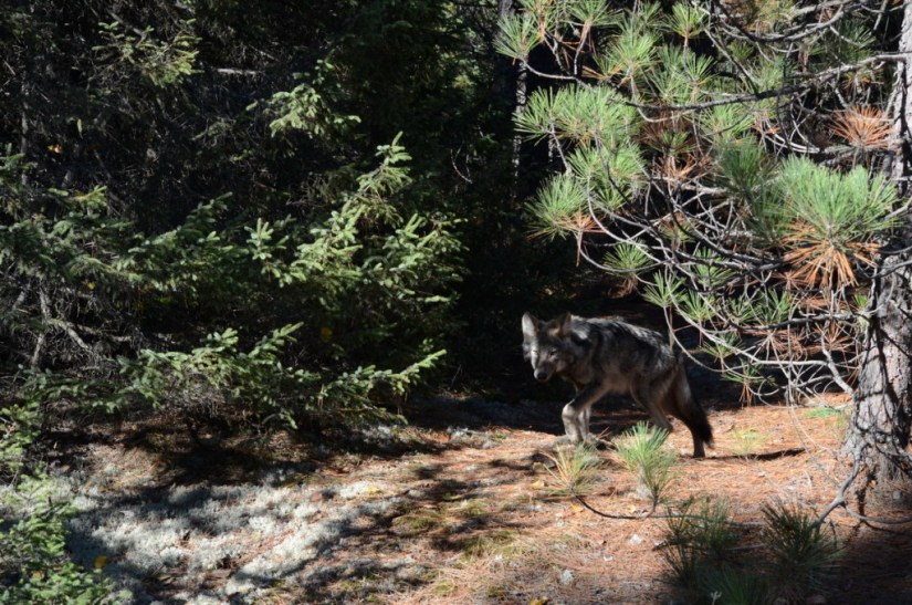 Eastern wolf walking on trail in Algonquin Park, in Ontario, Canada.