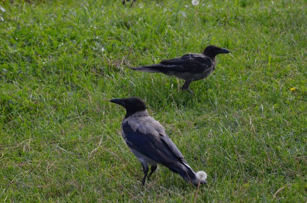 Two hooded crow on the grass at the Roman Forum, in Rome, Italy